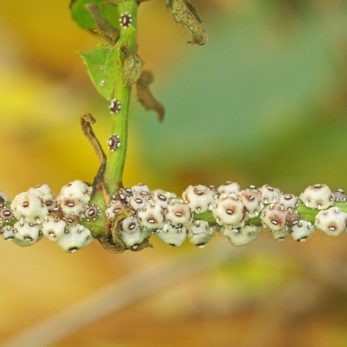 scale insect