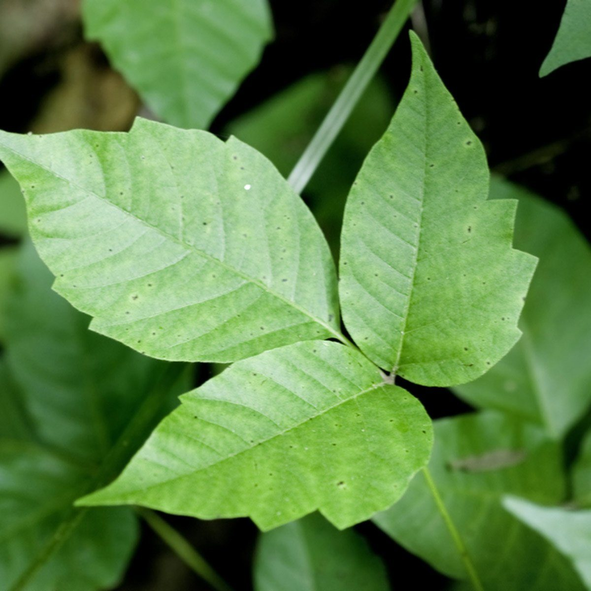 poison ivy foliage
