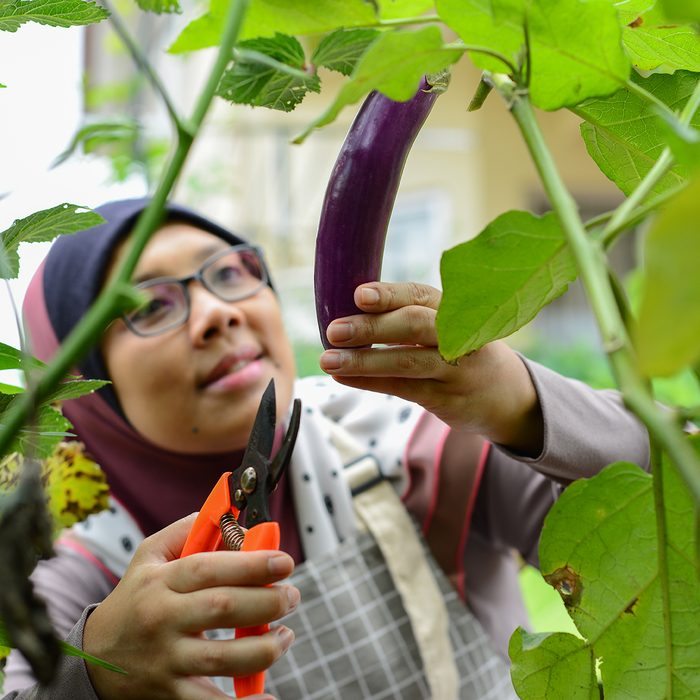Portrait of a woman in hijab hand picking eggplant fresh produce in her homegrown urban garden
