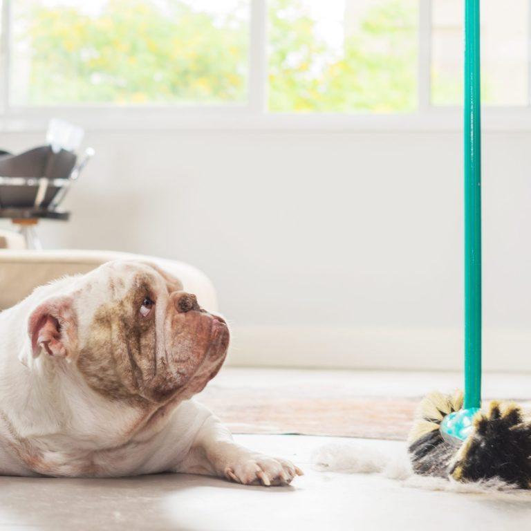 Bulldog looking up at mop