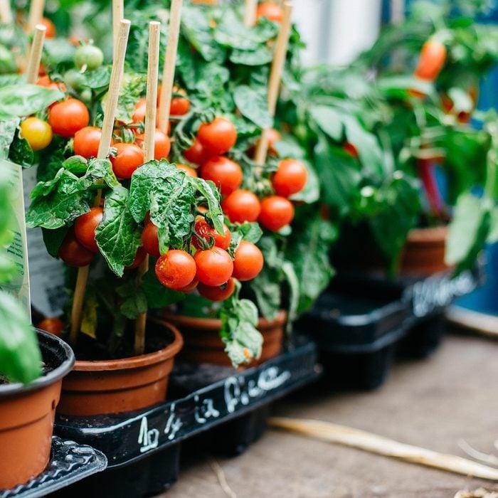 tomato garden plants