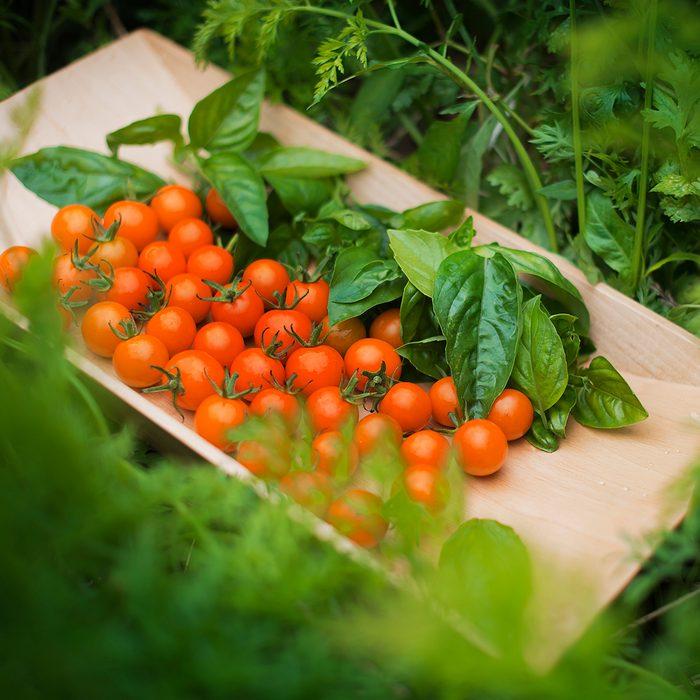 harvesting tomatoes in a tomato garden
