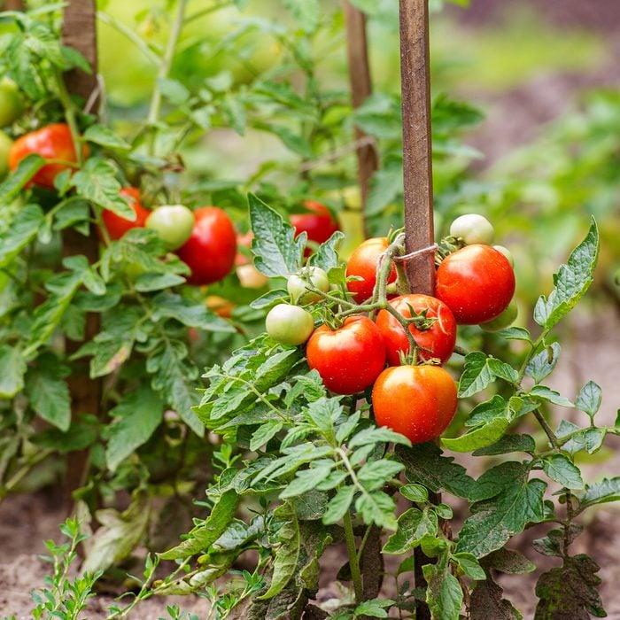ripe tomato garden plants ready to harvest