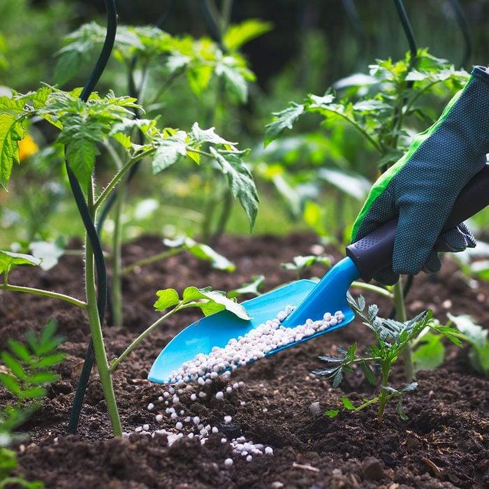 fertilizing a tomato garden