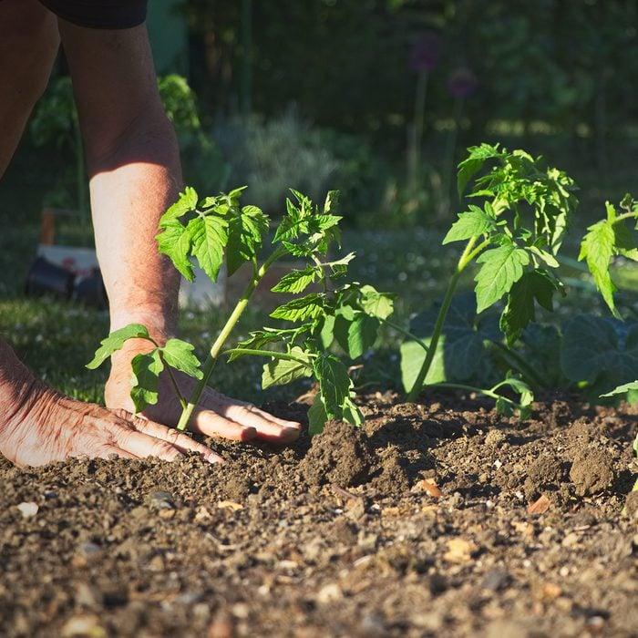 planting tomato plants