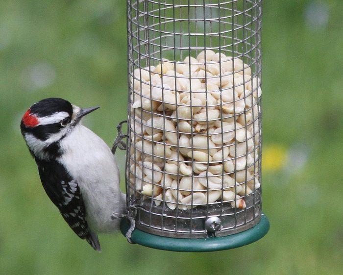 downy woodpecker on peanut feeder