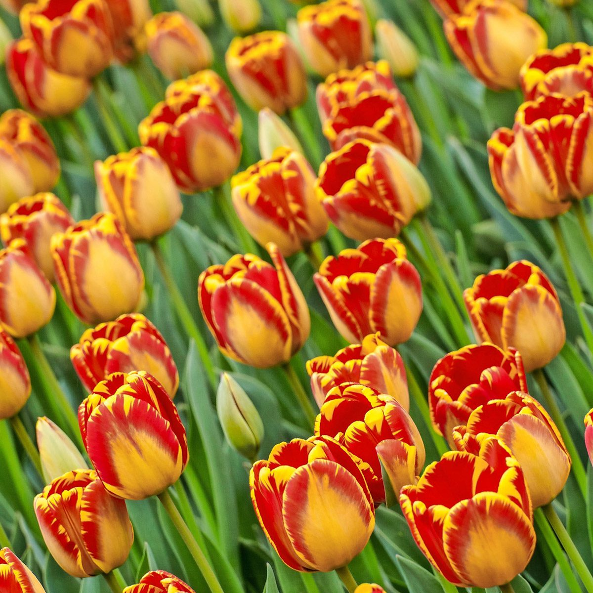 Tulip 'Banja Luka' has huge yellow and orange-red flowers that bear up beautifully in rugged spring weather.