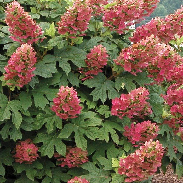 Burpee Ruby Slipper Hydrangeas