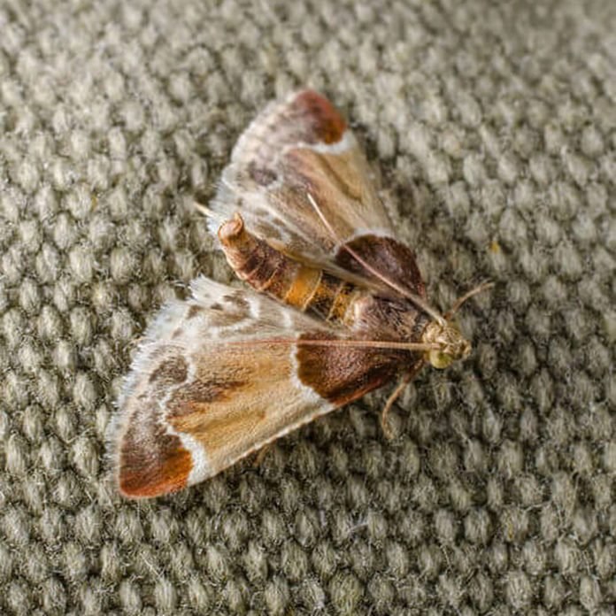 meal moth (pyralis farinalis) in resting position