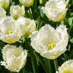 These White Honeymoon Tulips Are the Blooms You Need in Your Garden