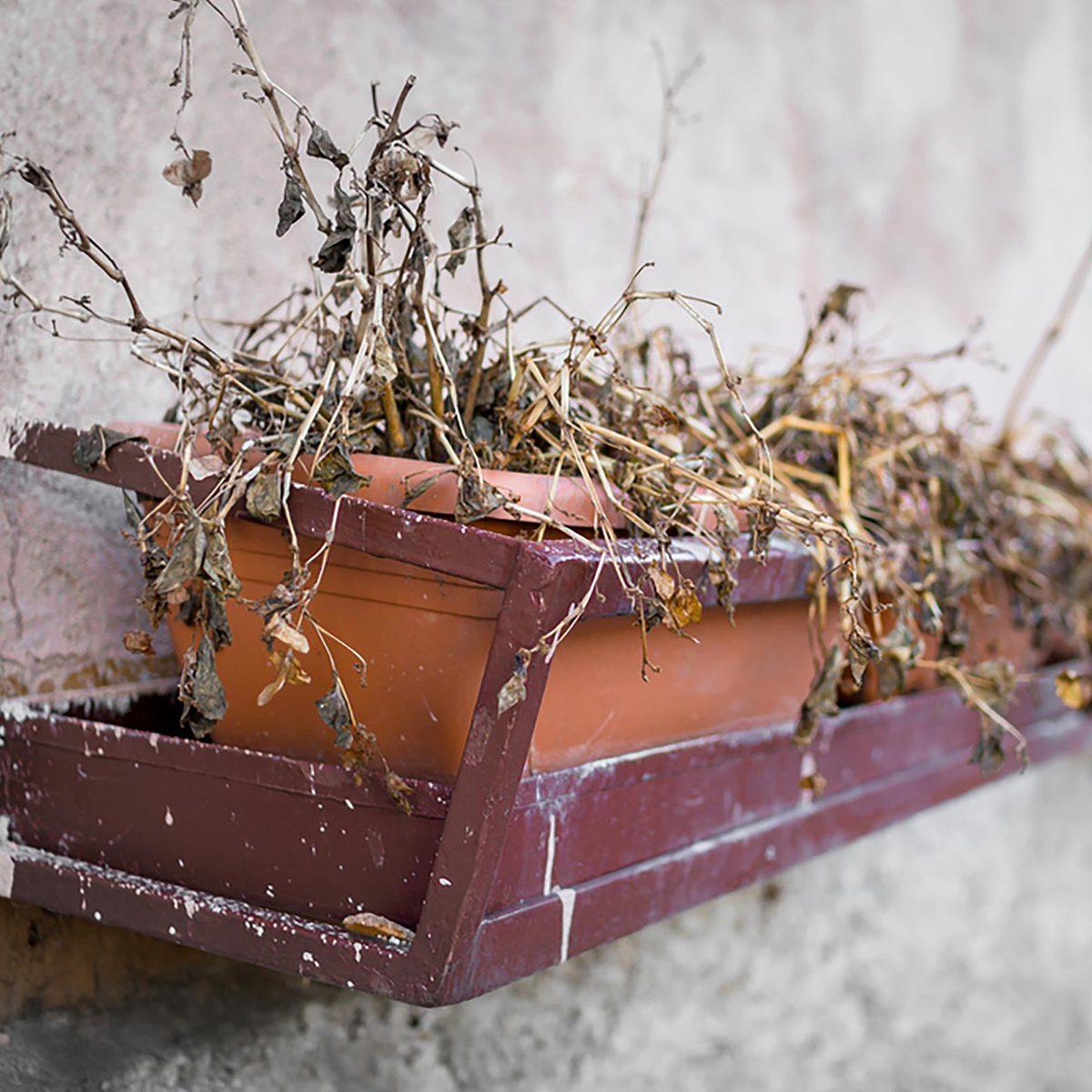Dead plant on a window sill