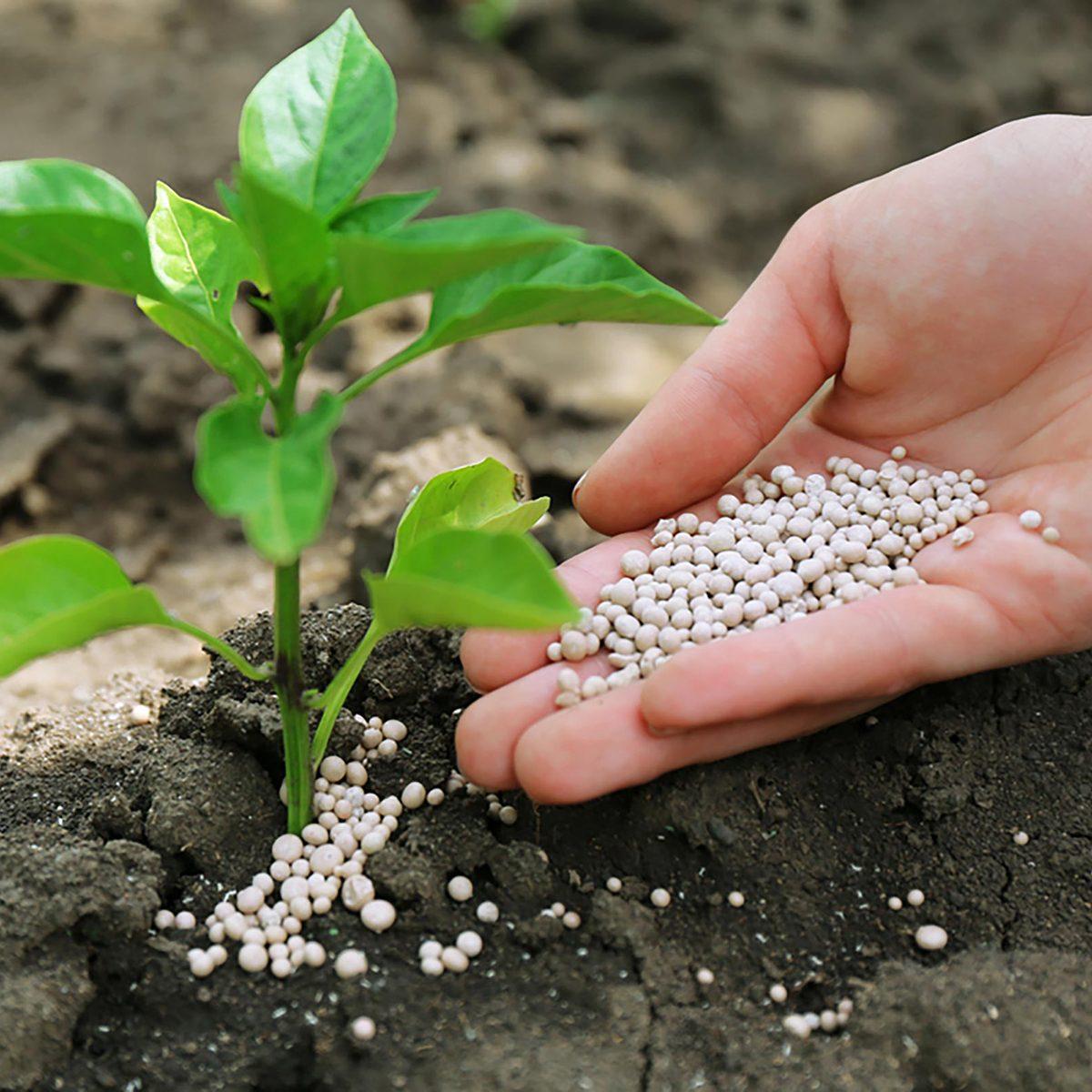 Laying fertilizer around a plant