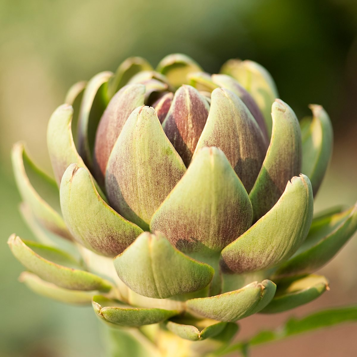 A close up of a blooming artichoke plant in the summer.