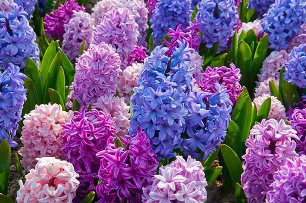 Etouffee hyacinths