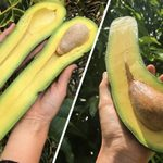 Long Neck Avocados Are Going Viral—and You HAVE to See Them