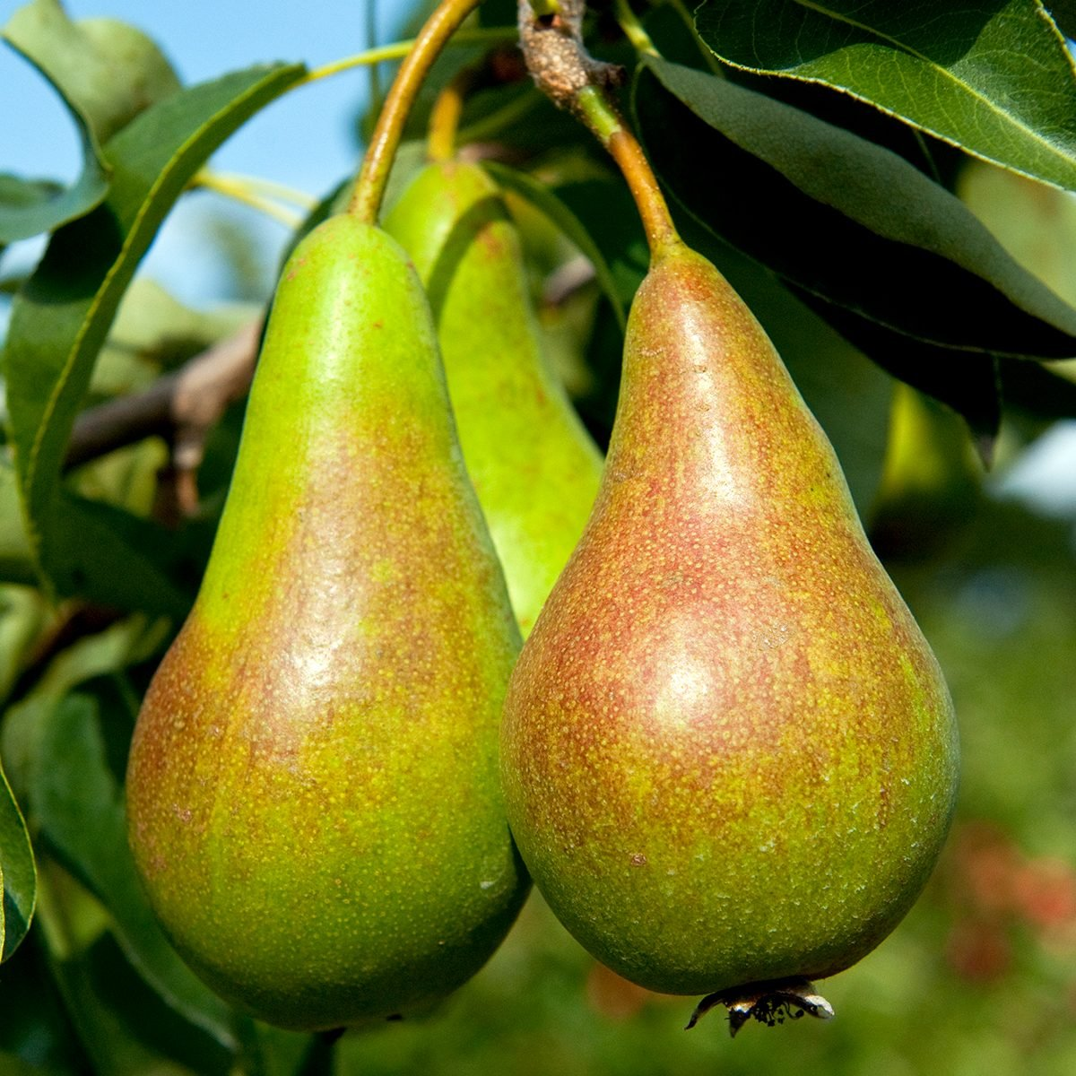 Pear (Pyrus), 'Concorde', ripening fruit hanging from tree