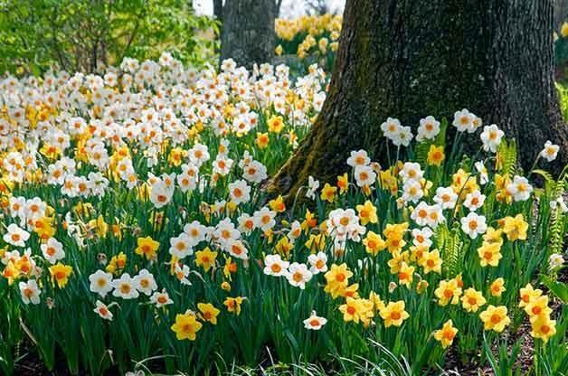 Sunshine Boys daffodils