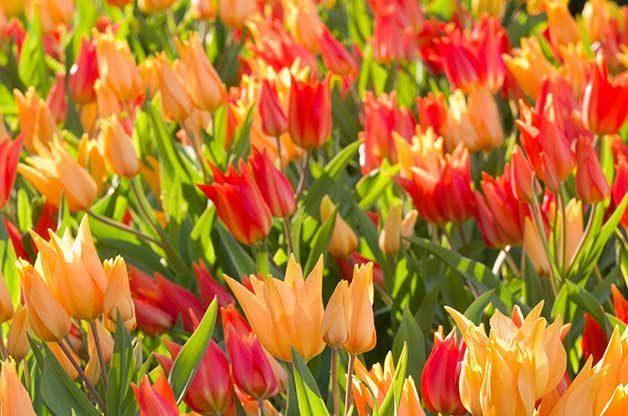 Wildfyre tulips