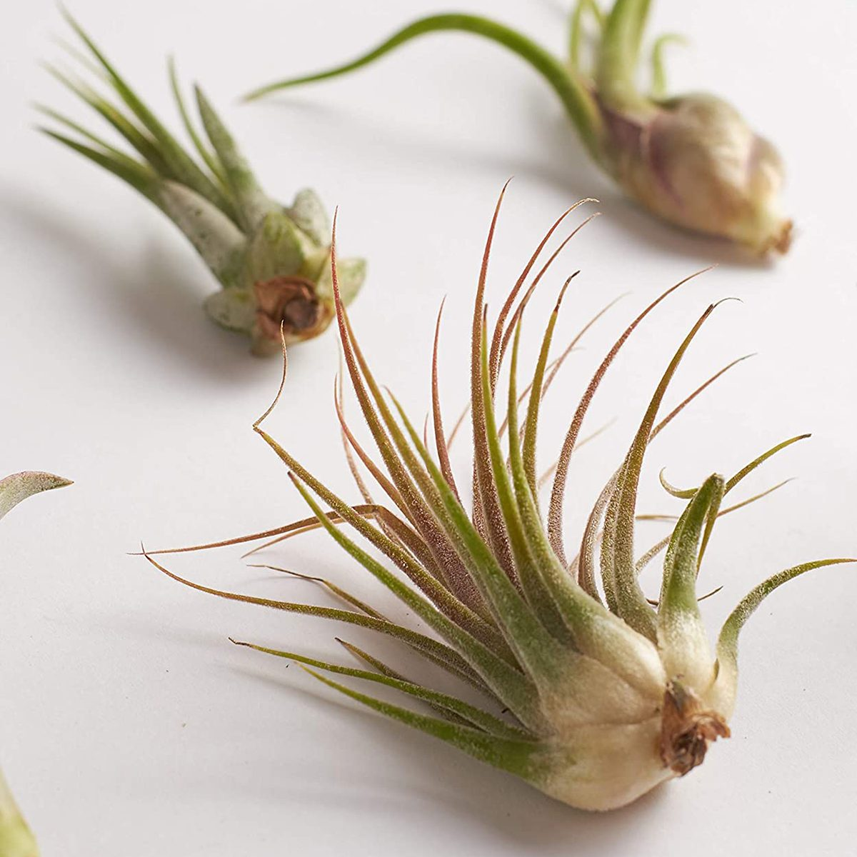 Shop Succulents | Live Air Plants Hand Selected Assorted Variety of Species, Tropical Houseplants for Home Décor and DIY Terrariums, 4-Pack