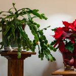9 Easy-Care Holiday Houseplants