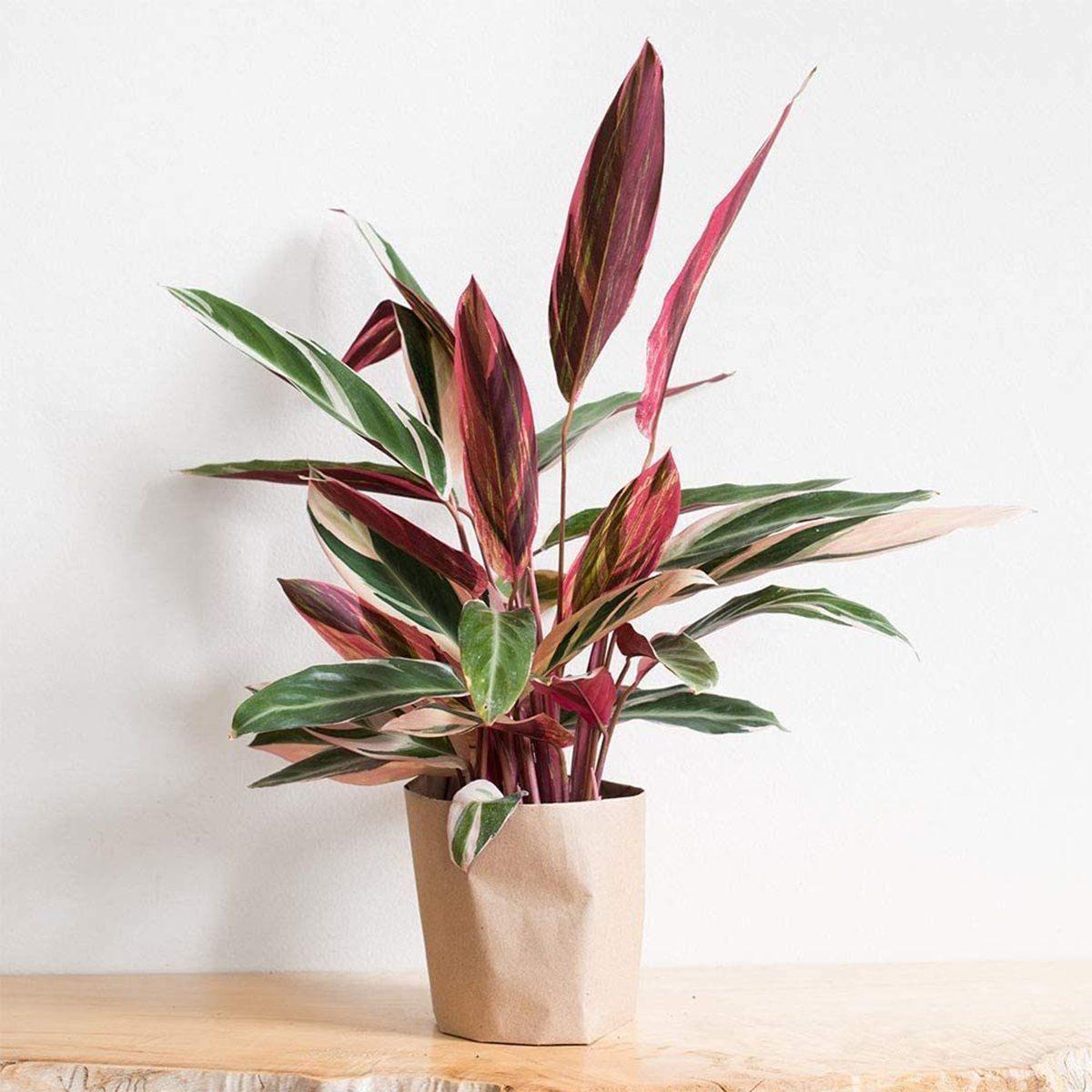 prayer plant