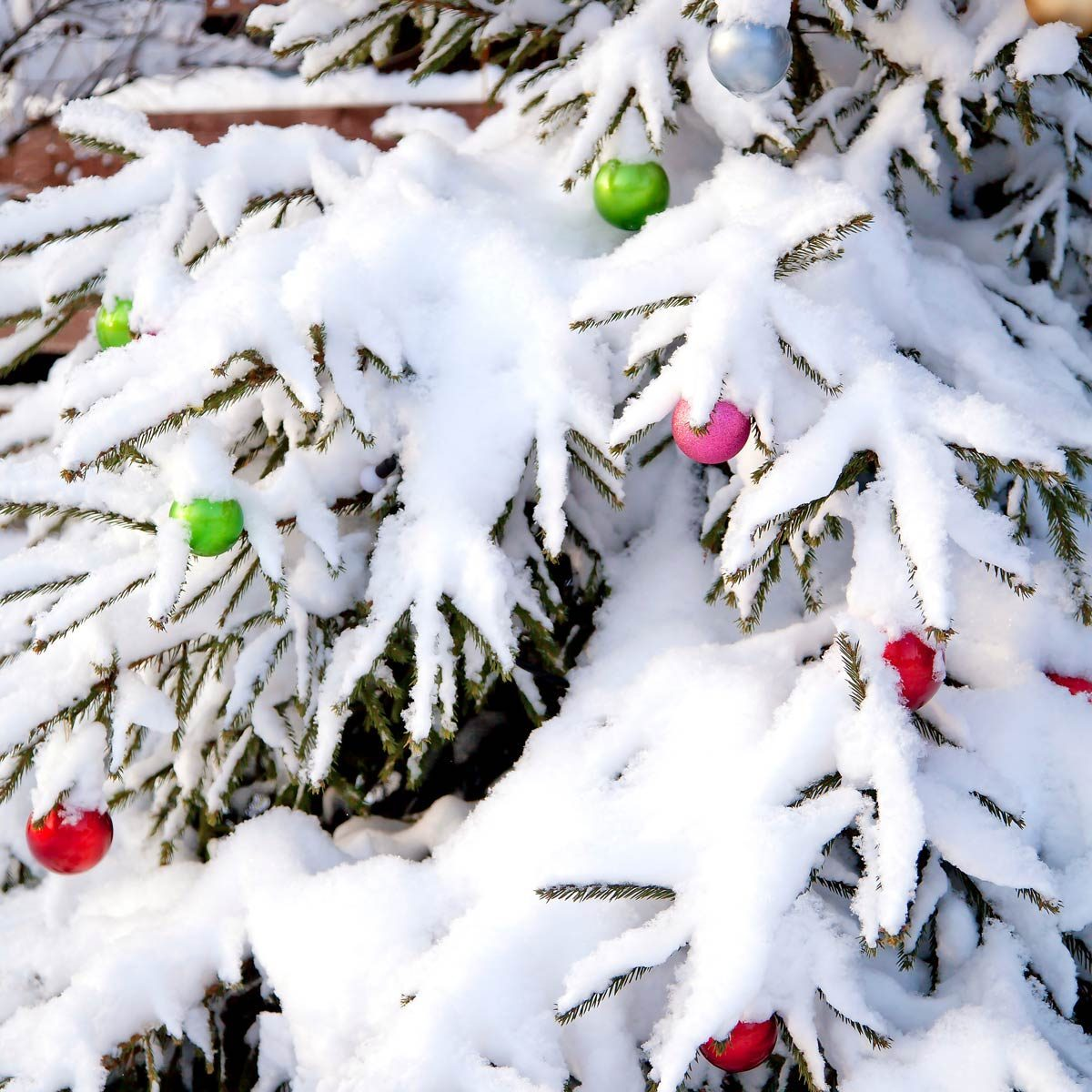 snow covered christmas tree shrubs