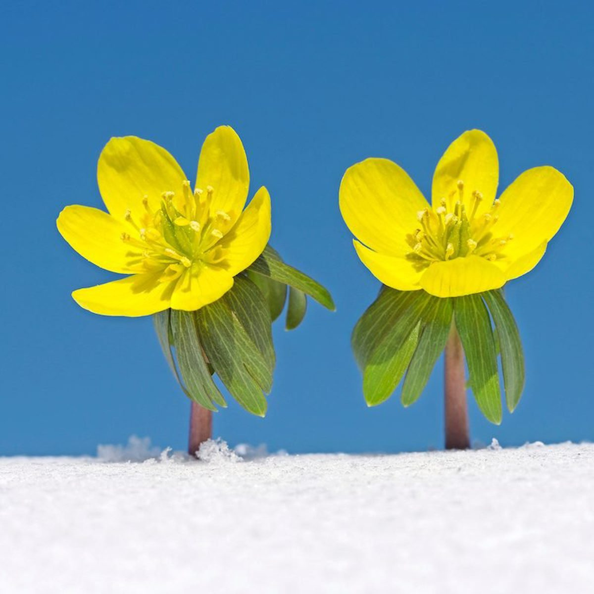 Winter Aconite In Snow, Clear Blue Sky.