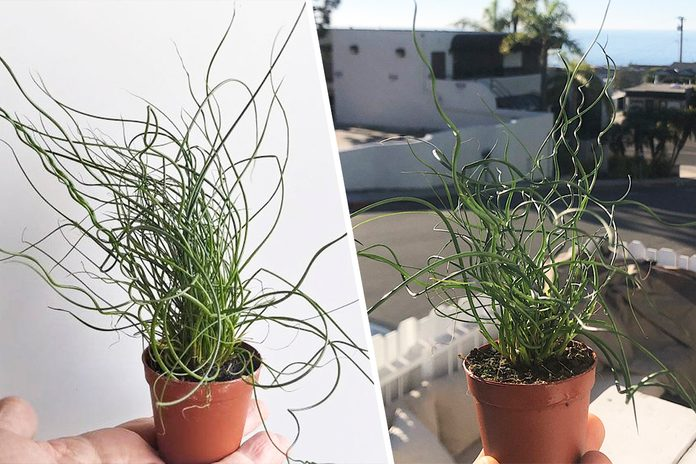 Corkscrew Rush Perennial indoor house plant in 2 inch pot - Juncus effusus Spiralis