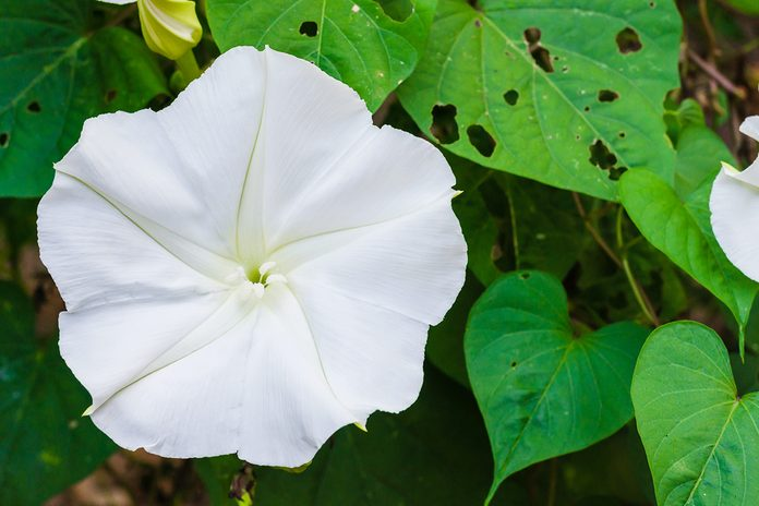 Moonflower or Ipomoea alba is botanical name, is blooming in a natural garden.