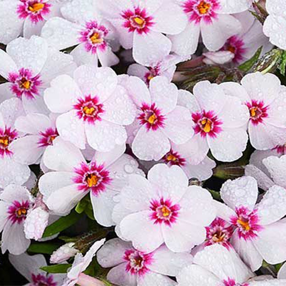 Pink And White Creeping Phlox Spring Flower Walters Gardens