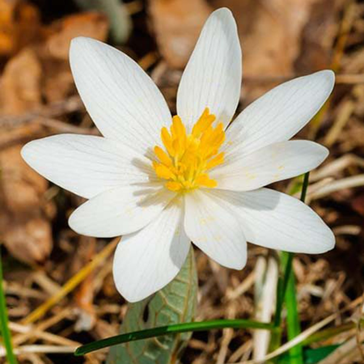 White Bloodroot Flower Shutterstock