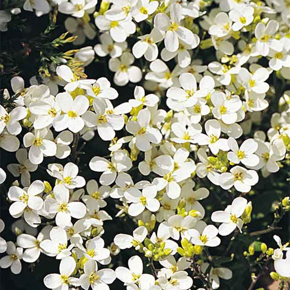 White Rock Cress Spring Flower Proven Winners
