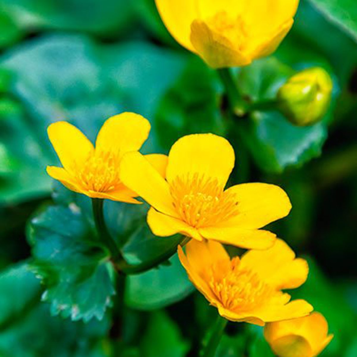 Yellow Marsh Marigold Shutterstock