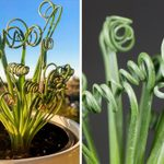 The 'Frizzle Sizzle' Is a Houseplant That'll Make You Happy