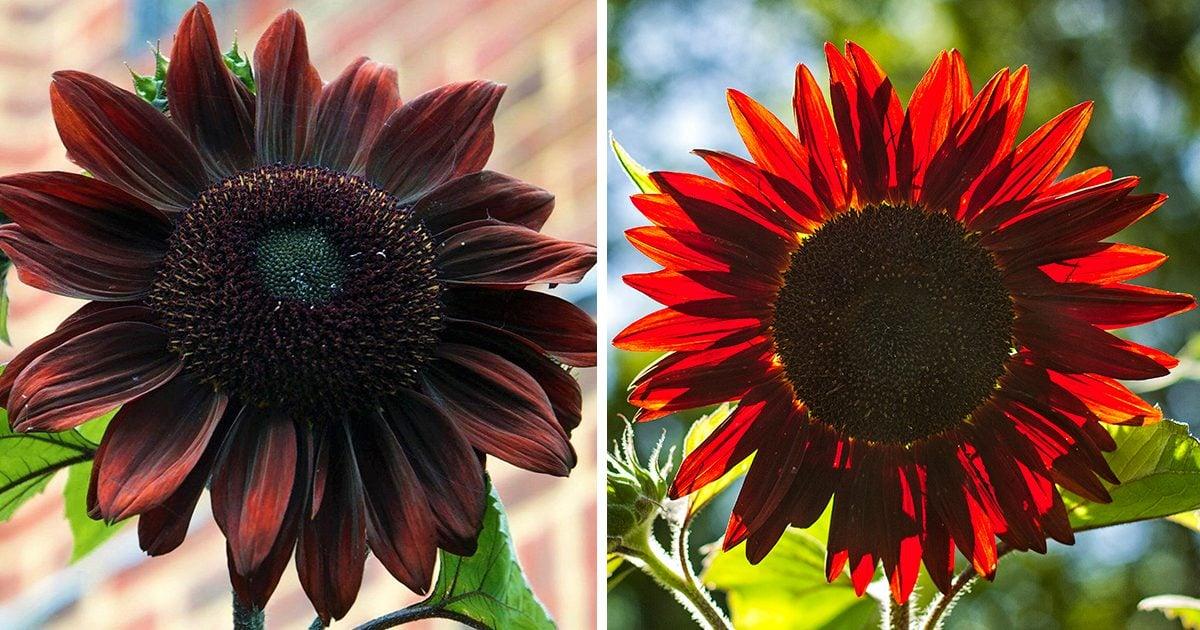 Chocolate Cherry Sunflowers Will Make Your Yard Look DARK and DECADENT!