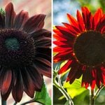 Chocolate Cherry Sunflowers Will Make Your Yard Look Dark and Decadent