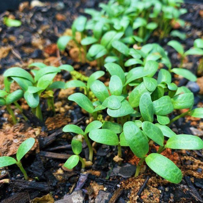 Fenugreek vegetable gardening for beginners