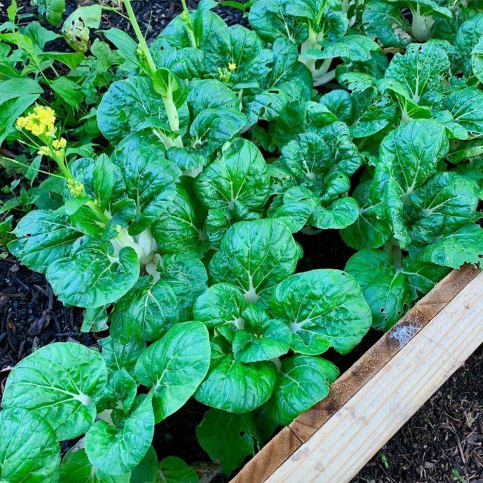 Bok Choy vegetable gardening for beginners