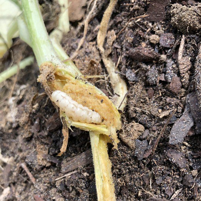 vegetable gardening for beginners Squash vine borer killed squash after burrowing into the stem in garden