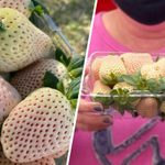 White Strawberry Plants Are Real—and the Fruits Tastes Like Pineapple